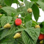 Rośliny odmiany 'Enrosadira'