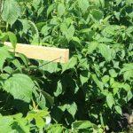 Stabilne podpory zapobiegają pokładaniu się pędów i ułatwiają zbiory, fot. P. Bucki