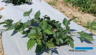 W uprawie jeżyn i malin korzystne jest ściółkowanie gleby, fot. P. Bucki