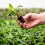 denis-Plants_Roślina (kalatea) w koreczku typu glue plug, fot. Ivan De Clercq