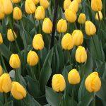 Tulipa Novi Sun