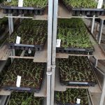 Denis-Plants_Rośliny rozmnożone in vitro po przesadzeniu do wielodoniczek, przeznaczone do aklimatyzacji_fot. AC