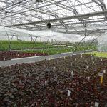 Denis-Plants_Szklarnia aklimatyzacyjna (na 1. planie żurawki)_fot. AC