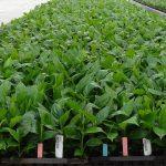 Denis-Plants_Spatiphyllum_Lima_AC