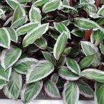 Calathea - odmiana z grupy Bicajoux® (materiał wyjściowy do dalszej produkcji)_Denis-Plants_fot. AC