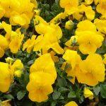 Viola cornuta Deltini Yellow