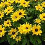 Rudbeckia Littlebeckia Sunshine