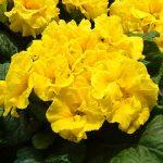 Primula vulgaris Girl's Delight Lemon Shades