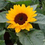 Helianthus_Smiley-Orange_
