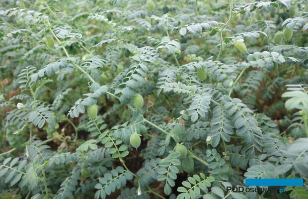 Łatwa w uprawie ciecierzyca w fazie wypełniania strąków