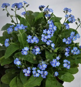 Myosotis alpestris Bellamy Blue, fot. Fleuroselect