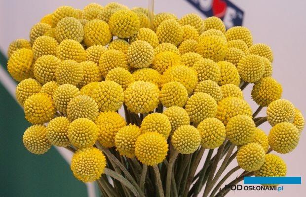 Craspedia, o kwiatostanach w złocistożółtym kolorze to jeden z popularnych dodatków florystycznych, fot. A. Cecot