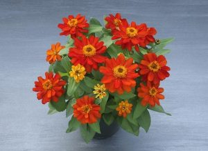 Zinnia Belize Double Scarlet, fot. Fleuroselect