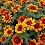 zinnia-Profusion-Red-Yellow-Bicolor, fot. Fleuroselect