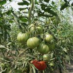 Pomidory w tunelowej uprawie ekologicznej