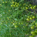 Tunelowa, ekologiczna uprawa pomidorów