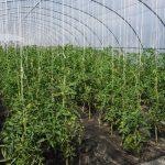 Pomidory w uprawie ekologicznej w tunelach
