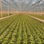 Rozsada papryki do uprawy bazglebowej