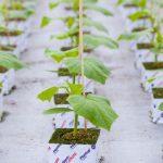 Rozsada ogórka do uprawy szklarniowej