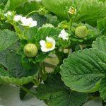 ...podczas gdy w uprawie na rynnach zaczynały dorastać i wybarwiać się pierwsze owoce