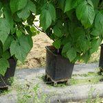 Doniczki do uprawy malin osadzone są na specjalnych nóżkach aby umożliwić swobodny odpływ nadmiaru pożywki