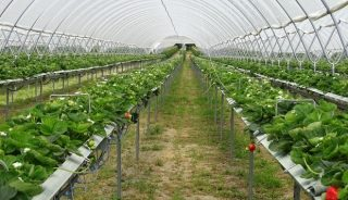 Uprawa truskawek na rynnach w tunelach foliowych