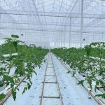 Pomidory odmiany Barteza, szczepionej, dwupędowej przyjechały do szklarni 21 grudnia, mimo małej ilości światła na przełomie 2020 i 2021 utrzymywały równowagę wegetatywno-generatywną. Średnią dobową temperaturę w obiektach utrzymywano na poziomie 15C.