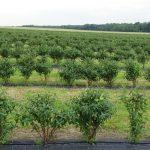 Młoda, 3-letnia plantacja jagody kamczackiej