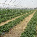 Uprawa truskawek na wczesną produkcję na wałach ziemnych