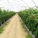 uprawa malin w tunelach foliowych