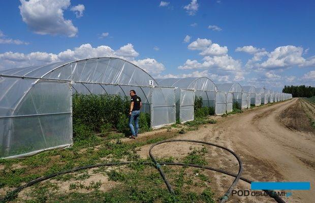 Ekologiczna uprawa pomidorów w tunelach w Farmie Świetokrzyskiej