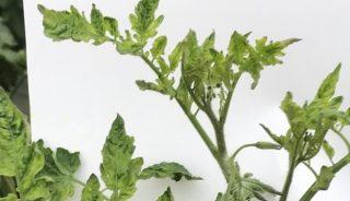Objawy ToBRFV na wierzchołkach młodych roślin pomidora koktajlowego