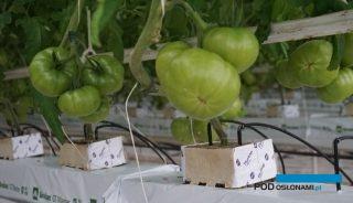 Pierwsze grona pomidora malinowego w uprawie doswietlanej