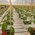 Rozsada papryki na tegoroczne nasadzenie w szklarniach Thanet Earth
