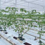 Na początku uprawy rośliny pomidorów przetrzymywano obok otworów na matach, rośliny podlewano raz dziennie dawką 150 ml na pęd (dwupędowa Barteza, 8 stycznia 2021)
