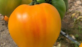 Pomidor Gourmansun