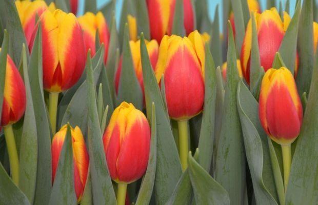 Tulipan 'Ready' - odmiana z grupy Triumph, wyhodowana pod marką Remarkable Tulips w firmie Hobaho by Dümmen Orange, fot. Dümmen Orange