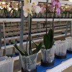 """Storczyki w firmie Ter Laak Orchids-2011 r._Walking Plant System - rośliny """"wędrują"""" do robota sortującego, a następnie wracają do szklarni lub trafiają do spedycji _fot. A-Cecot"""