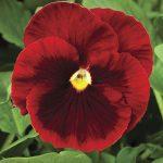 Delta Red with Blotch, fot. Syngenta Flowers