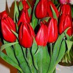 Tulipan 'Strong Love' - dobry kolor i świetna nazwa odmiany w odniesieniu do Dnia Zakochanych