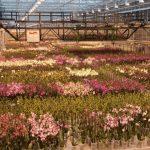 Uprawa storczyków w szklarni firmy Ter Laak Orchids z 2011 r.