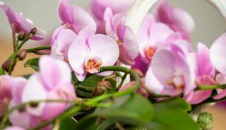 phalaenopsis Ter Laak Orchids Arrangement - fotograaf NICO ALSEMGEEST
