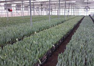 Plantacja pędzonych tulipanów w gospodarstwie Królik w Chrzypsku Wielkim 4 lutego 2021 r., fot. D. Sochacki