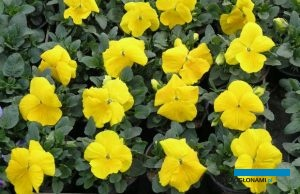 Bratki Delta ® (tu: odmiana 'Yellow') pojawiły się na rynku 25 lat temu, fot. A. Cecot