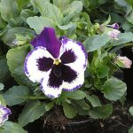 Bratek Violet-and-White-fot. A-Cecot