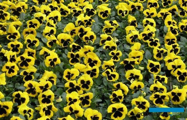 Bratki Delta ® (tu: odmiana 'Yellow with Blotch') pojawiły się na rynku 25 lat temu, fot. A. Cecot