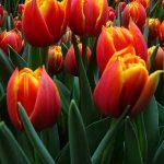 tulipan_Crossfire_m_fot. A-Cecot
