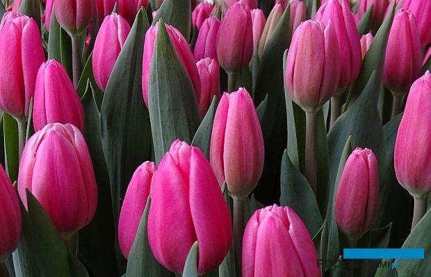 Tulipan_Milkshake_fot. A-cecot