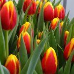 Tulipan_Ready_fot A-Cecot