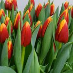 tulipan_Spirit